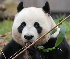 giant panda Ouwehands 094A0258 (j.a.kok) Tags: animal bear beer bamboebeer bamboobear panda giantpanda grotepanda china asia azie mammal zoogdier dier ouwehands