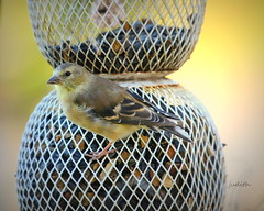 tarnished gold (Judecat (back on the farm)) Tags: bird birdfeeder nature wildlife pennsylvaniawildlife americangoldfinch