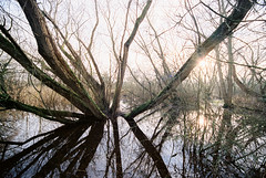 Winter Wet Woodland (Greg Hitchcock) Tags: 35mm analog film iso400 kodak nevillepark portra portra400 analogue wetwoodland woodland forest water reflection kent uk england britain habitat canon eos3 winter c41