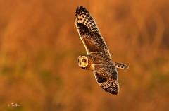 Short-Eared Owl (Thy Photography) Tags: wildlife animal nature outdoor backyard california bird sunrise sunset dawn dusk sunshine thyphotography sanfranciscobayarea sonya9 shortearedowl raptor raptors stackingtcs fly haywardshoreline