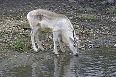 Rentier (Michael Döring) Tags: gelsenkirchen bismarck zoomerlebniswelt zoo rentier mule afs70200mm28g d800 michaeldöring