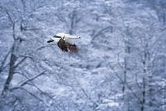 Magellan Goose. Caiquén (macho). Chloephaga picta (Daniel Sziklai G.) Tags: aysén caiquén jeinimeni parque machocaiquén macho magellan goose chloephagapicta aves birds