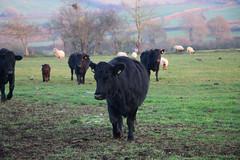 Cattle, Saltford, Somerset (Kev Slade Too) Tags: cattle saltford somerset
