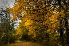 Autumn Dreiländerwald- Nikon D500 (Kalbonsai) Tags: trees baumen sunsetlight light herfst herbst autumn nikon d500 1680mm color