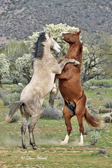 High horses (littlebiddle) Tags: arizona saltriver nature horses equine wildlife animals mammal