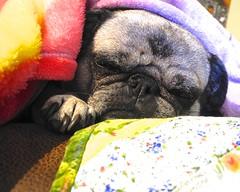 Nap Time (Woody H1) Tags: pet dog pug animal canine
