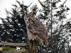 Oliver Great Horned Owl CRC IMG_2847 (Jennz World) Tags: ©jennifermlivick canadianraptorconservancy vittoria ontario canada greathornedowl owl bird raptor snow winter