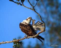 Tail Biter (craig goettsch) Tags: sanibel2018 baileytract osprey birdofprey raptor florida feathers bird avian nature wildlife nikon d500