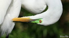 Better than a poke in the eye with a sharp stick (Shannon Rose O'Shea) Tags: shannonroseoshea shannonosheawildlifephotography shannonoshea shannon greategret egret bird beak feathers white lores redeyes ardeaalba alligatorbreedingmarshandwadingbirdrookery gatorland orlando florida gatorlandbirdrookery rookery nature wildlife waterfowl outdoors outdoor outside colorful colourful bokeh art photo photography photograph wild wildlifephotography wildlifephotographer wildlifephotograph femalephotographer girlphotographer womanphotographer shootlikeagirl shootwithacamera throughherlens flickr smugmug wwwflickrcomphotosshannonroseoshea camera canon canoneos80d canon80d canon100400mm14556lisiiusm canon80d100400mmusmii eos80d eos 80d 2019 birdphotographer naturephotographer