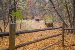 Jail Break (Brad Prudhon) Tags: 2018 animals cottonwoodcampground cows fall nephi september utah autumn colors fence