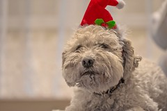 Sleepy Santa Claus dog (Torok_Bea) Tags: dogs d7200 dog doggy sigma sigma105 sigmalens sigma105mm cute lovely love sleepy sleep hund hunde beautiful puli pulidogs whitepuli hungarianpuli mydogs bestfriends home sweet sweethome santa santadog santadogs hellodecember