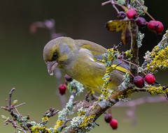 02 12 218 (cathyk31) Tags: verdierdeurope oiseau carduelischloris europeangreenfinch fringillidés passériformes bird