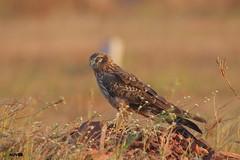 Montagu's Harrier (Female) (harshithjv) Tags: bird birding diurnal raptor montagusharrier montagu harrier circus pygarguss accipitridae accipitriformes aves avian canon 80d tamron bigron g2 nocrop