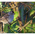 White-crowned Sparrow (Zonotrichia leucophrys) WCSP - South Florida Winter Visitor thumbnail