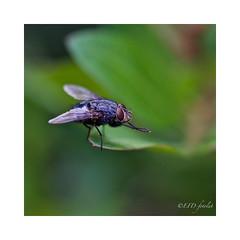 Frotándose las patas delanteras... (EFD-fotolab) Tags: tamron90mm nikond610 nikon españa macrofotografia macro naturaleza mosca insectos