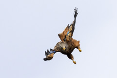 Red Kite ( after St. Michael) (mond.raymond1904) Tags: red kite wicklow diving