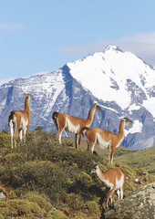 A herd of guanacos in Torres del Paine National Park in Chile. Original from NASA. Digitally enhanced by rawpixel. (Free Public Domain Illustrations by rawpixel) Tags: airbornelaboratory airbornescience airbornesyntheticapertureradar airsar animal chile climatechange cuernosdelpainemountains environment environmentalconservation forest geography glaciergrey globalwarming jungle lagogrey mountain name nationalpark nature patagonia pdnasa photography publicdomain southamerica torresdelpainenationalpark wild wildlife