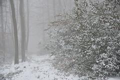 Neige et brouillard sur le houx (Excalibur67) Tags: nikon d750 sigma globalvision art 24105f4dgoshsma paysage landscape forest foréts arbres trees nature neige snow brouillard fog houx