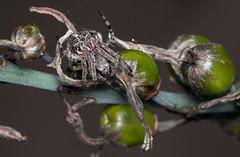 Agalenatea redii (SaZiRi) Tags: spider arachnid arachnida animal nature asphodel fruits green macro ef100mm eos200d