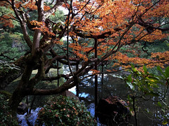 arboreal prosthesis (deziluzija) Tags: autumnleaves heianjingushrine koyo mapletree pond tree