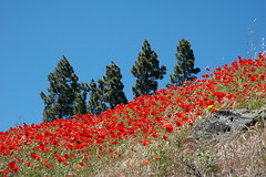 Poppies and pine trees (jeangrgoire_marin) Tags: pines trees poppies field red flowers flowerbed blue nature