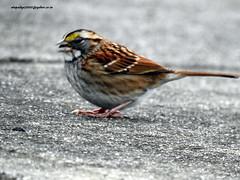 DSCN6536 White-throated Sparrow (Zonotrichia albicollis) (vlupadya) Tags: greatnature animal bird aves fauna whitethroated sparrow zonotrichia baskingridge newjersey usa