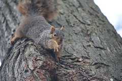 277/365/3929 (March 15, 2019) - Fox Squirrels on the Ides of March - in Ann Arbor at the University of Michigan - March 15th, 2019