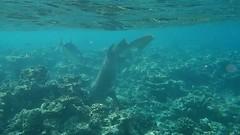 Grey Reef Shark (Carcharhinus amblyrhynchos) (ladigue_99) Tags: shark hunting greyreefshark maldives eriyadu atoll lagoon coralreef kaafuatoll northmaleatoll indianocean lakshadweepsea carcharhinusamblyrhynchos bluefintrevally caranxmelampygus