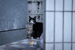 猫 (fumi*23) Tags: ilce7rm3 sony street sel55f18z 55mm sonnartfe55mmf18za sonnar a7r3 animal alley katze neko cat chat gato emount feline ねこ 猫 ソニー
