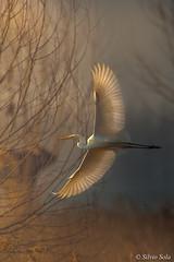 Il rumore del silenzio... (Casmerodius albus) (Silvio Sola) Tags: silviosola casmerodiusalbus aironebiancomaggiore whitegreatheron ardeaalba uccello bird