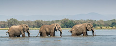 River crossing (tickspics ) Tags: africa lowerzambezi africanelephant zambia bushelephant elephantidae iucnredlistvulnerable loxodontaafricana mammalia proboscidea savannaelephant