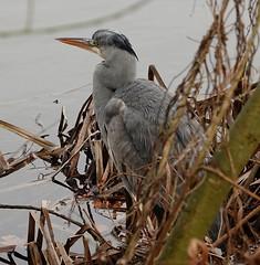 Grey Heron. (alijanebenner) Tags: birds wildlife naturereserve nottingham wildfowl nottinghamshirewildlifetrust attenboroughnaturereserve lakes