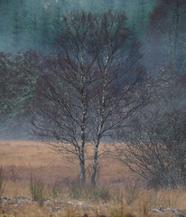 """Brightness Falls (Say """"Wasabi"""") Tags: winter scenery landscape trees mist scotland olympus m43 colours nature pines"""