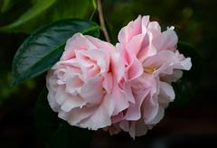 Kamelie (LuckyMeyer) Tags: flower fleur garden botanical pink rosa blume blüte green makro
