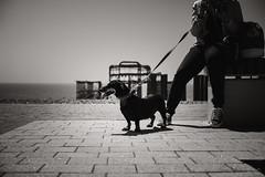 Brighton Sausage (*trevor) Tags: brighton june2017 dachshund sausagedog weinerdog brightonpier summer blackandwhite streetphotography