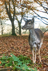 deer13Capture (andy_rae) Tags: cannockchase stafford brocton deer autumn staffordshire
