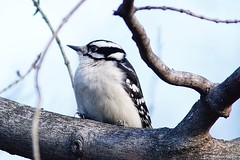 Downy Woodpecker Female (Anne Ahearne) Tags: wild bird animal nature wildlife woodpecker birdwatching downywoodpecker portrait tree