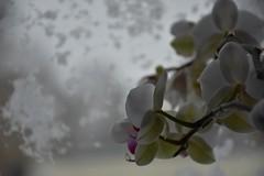 Tuisk Rakveres (anuwintschalek) Tags: nikond7200 18140vr eesti estland estonia rakvere talv winter january 2019 schnee snow snowfall tuisk schneesturm schneefall lumi lumesadu orhidee ordchid orchidee aken window fenster aknaklaas