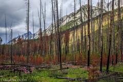 What's Left of the Trees (Samantha Decker) Tags: ab alberta banffnationalpark canada canadianrockies canonef24105mmf4lisusm canoneos6d parkscanada rockymountains samanthadecker
