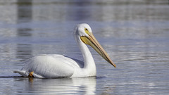 American White-pelican (George_Adkins) Tags: review americanwhitepelican whitepelican pelican sandiegoriver riverestuary oceanbeach ob winteringbirds bird floating