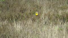 Western Meadowlark (stonebird) Tags: westernmeadowlark sturnellaneglecta ballonawetlandsecologicalreserve areab february img7311