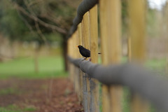 Fade to black (Paul wrights reserved) Tags: leadinglines leading bokeh bokehphotography fence fenced wood wooden tree composition fencefriday bird birding birds birdphotography birdwatching beautiful beak fencedfriday sos smileonsaturday smileonsaturdays fancyfence