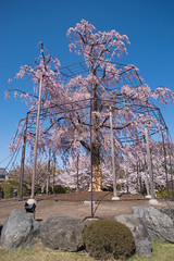 Toji Temple Sakura - Kyoto, Japan (inefekt69) Tags: kyoto japan toji temple 日本 京都 nikon d5500 sakura cherry blossoms flowers spring さくら 桜 花見 東寺 pagoda