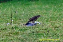 Killer Strike #6 (mgkphotokerry) Tags: hawk kestrel birdsofprey birds birdwatchireland wildbirds irishbirds irishwildlife irishnature mgkphotokerrycom michaelgkenny killorglin kerry countykerry wildatlanticway prey