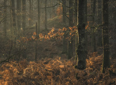 Hanging on (www.peterhenryphotography.com) Tags: woodland forest woods trees autumn colour leaves bracken fern morning light sunlight