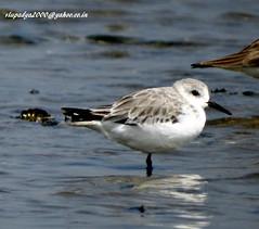 DSC01466 Sanderling (Calidris alba) (vlupadya) Tags: greatnaturea animal bird aves fauna indianbirds sanderling calidris kundapura karnataka