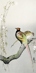 Couple pheasants and cherry blossom (1900 - 1936) by Ohara Koson (1877-1945). Original from The Rijksmuseum. Digitally enhanced by rawpixel. (Free Public Domain Illustrations by rawpixel) Tags: pdproject21batch2x otherkeywords tagcc0 animal antique art asian bird cherryblossom drawing illustration japan japanese koson museum name ohara oharakoson old paint pheasants rijksmuseum vintage