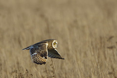 K32P2302a Short-eared Owl, Burwell Fen, December 2018 (bobchappell55) Tags: burwellfen cambridgeshire nationaltrust wild bird wildlife nature shorteared owl asioflammeus hunting flight