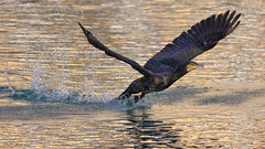 Takeoff (Kike K.) Tags: amateur bird animal canon fauna bif cormorant duck geese color cloudy blue azure sky light sunlight winter water river splash fish catching hiking walk fly flight feathers beak eye adriatic adria sea mediterranean diving rijeka fiume croatia nature natural wild wings outdoor air freedom clear vranac gnjurac 80d speed runway flying lake white black meal dinner eat 400mm greifensee switzerland summer december spread plumage 2019 january