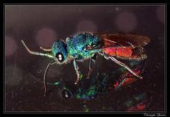 Chrysura sp. (cquintin) Tags: arthropoda hymenoptera chrysididae chrysura macroinsectes